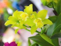 Groene Orchidee royalty-vrije stock foto's