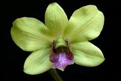 Groene Orchidee stock fotografie