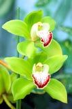 Groene Orchidee royalty-vrije stock afbeelding