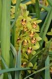 Groene Orchidee Stock Afbeeldingen