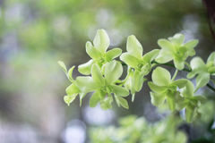 Groene orchideebloem op tuinachtergrond, groene bloem Royalty-vrije Stock Fotografie