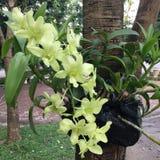 Groene orchideeën Stock Foto's