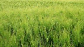 Groene oren van tarwe stock videobeelden