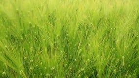 Groene oren van tarweclose-up stock video