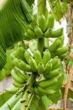 Groene organische banaanbos op het fruit van het boom tropische klimaat royalty-vrije stock foto's