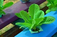 Groene organische sla in blauwe waterbuis Royalty-vrije Stock Afbeeldingen