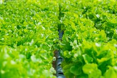 Groene organische sla voor zonlicht Royalty-vrije Stock Afbeeldingen