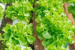 Groene organische sla voor zonlicht Stock Foto