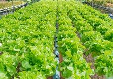 Groene organische sla voor zonlicht Stock Afbeelding