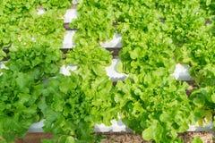 Groene organische sla voor zonlicht Royalty-vrije Stock Fotografie