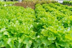 Groene organische sla voor zonlicht Stock Foto's