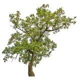 Groene oude eiken boom die op wit wordt geïsoleerd Stock Afbeeldingen