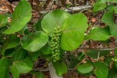 Groene Overzeese Druiven Royalty-vrije Stock Afbeeldingen