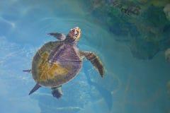 Groene Overzeese Schildpad stock foto