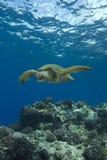 Groene Overzeese Schildpad Stock Afbeelding
