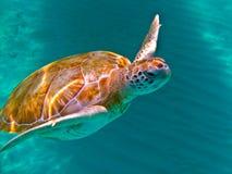 Groene Overzeese Schildpad Stock Afbeeldingen