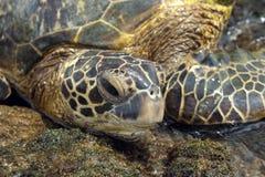 Groene Overzeese Schildpad Royalty-vrije Stock Foto