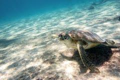 Groene Overzeese Schildpad Stock Fotografie