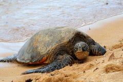 Groene Overzeese Schildpad 7 Stock Afbeeldingen