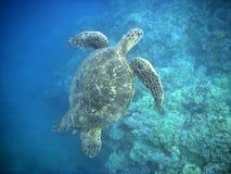 Groene Overzeese Schildpad Stock Foto's