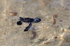 Groene Overzeese Schildpad Hatchling stock afbeeldingen