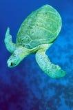 Groene overzeese schildpad (mydas Chelonia) Stock Foto