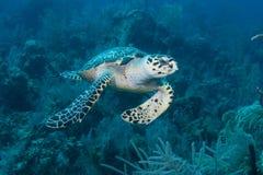 Groene Overzeese Schildpad Nassau de Bahamas Stock Foto