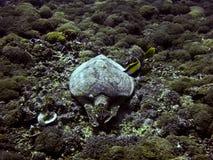Groene overzeese schildpad onderwater Stock Fotografie