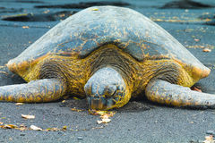 Groene Overzeese Schildpadden Royalty-vrije Stock Foto