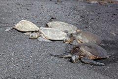 Groene Overzeese Schildpadden op het Zwarte Strand van het Zand Stock Foto's