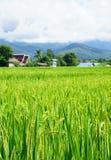 Groene padie Groen oor van rijst in padiepadieveld Stock Afbeeldingen