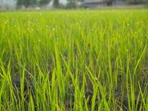 Groene padievelden Stock Foto's