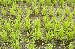Groene padievelden Royalty-vrije Stock Afbeelding