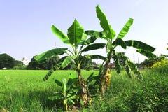 Groene padievelden en banaanbomen Stock Foto