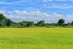 Groene Padievelden Thailand met blauwe hemel Stock Afbeelding