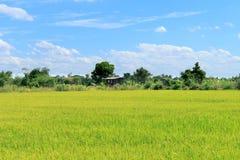 Groene Padievelden Thailand met blauwe hemel Stock Foto's