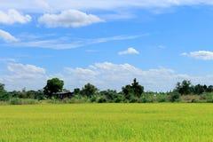 Groene Padievelden Thailand met blauwe hemel Stock Fotografie