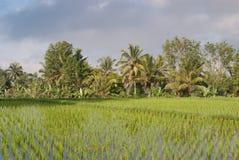 Groene padieveldterrassen in Bali Stock Fotografie