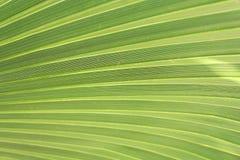 Groene palmbladclose-up Stock Afbeelding