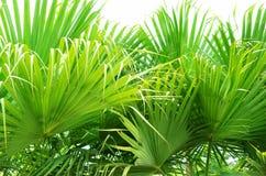 Groene palmbladen Royalty-vrije Stock Afbeelding
