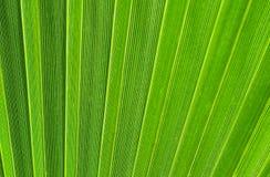 Groene palmbladen Royalty-vrije Stock Fotografie