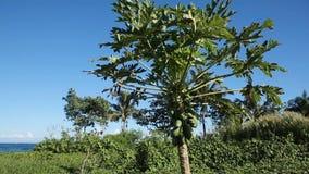Groene papaja op de boom stock video