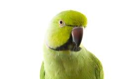 Groene papegaai Stock Afbeeldingen