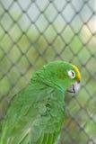 Groene papegaai Stock Foto's