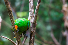 Groene Papegaai in Boom Stock Afbeeldingen