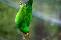 Groene Papegaai in Boom Royalty-vrije Stock Foto's