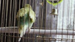 Groene papegaai in een kooi stock videobeelden