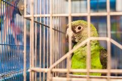 Groene papegaai in een kooi in Yuen Po Bird Market, Mong Kok, Hong Kong Stock Foto