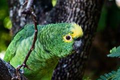 Groene papegaai met lichte ogen op lindeboom stock foto's