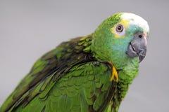 Groene papegaai onder zonsondergang Royalty-vrije Stock Foto's